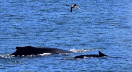 calf humpback with mom