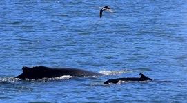 calf humpback with mom