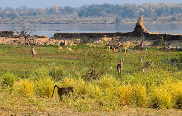 Zambizi River with Animals