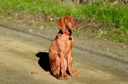 Vizsla Puppy Sit