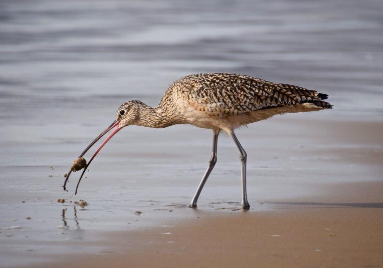 Bird Sandcrab