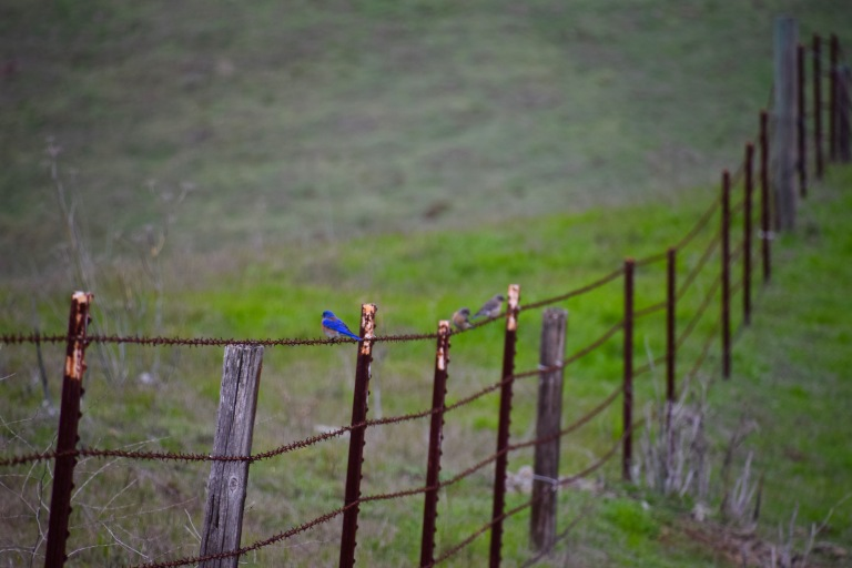 Bluebird barbed wire
