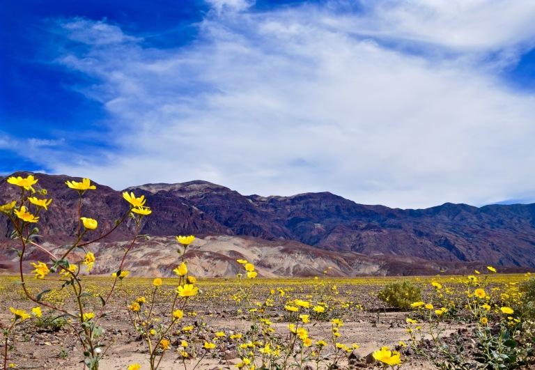 Death Valley Bloom Close