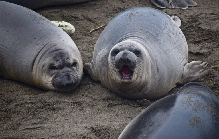 3 Female Elephant Seals