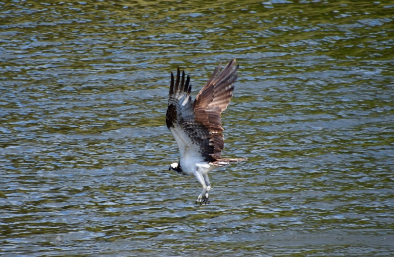 Osprey Misses fish