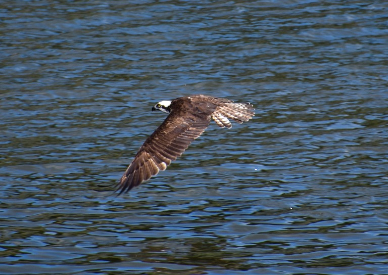 Osprey Wings down