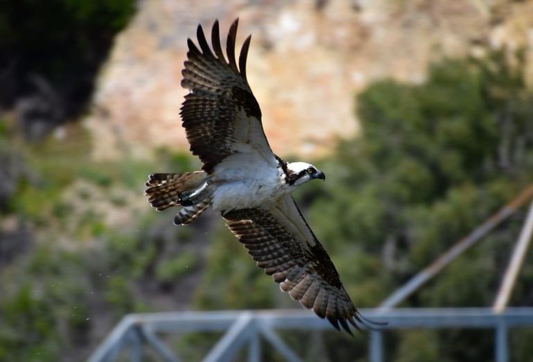Osprey wingspan