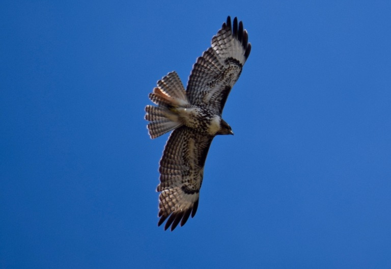 red tail young