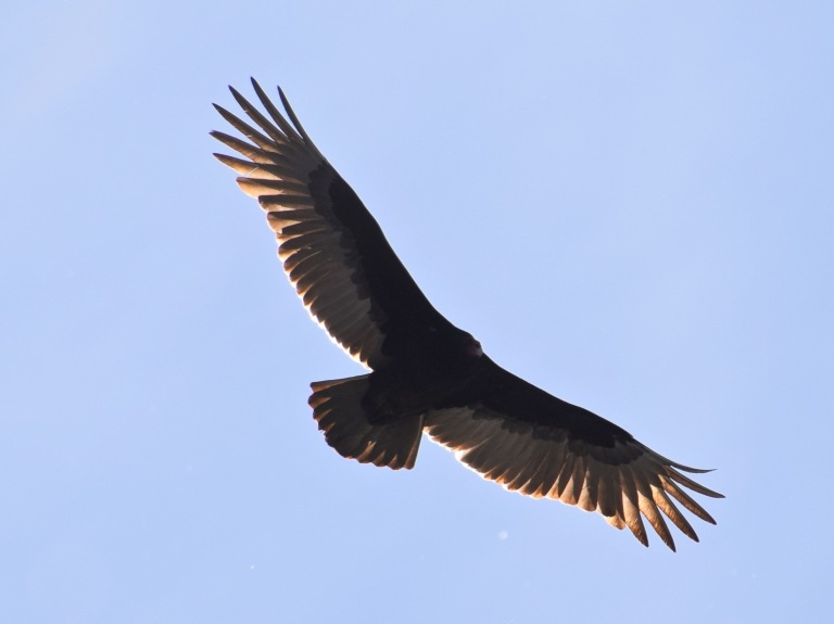 Turkey Vulture with full wings spread