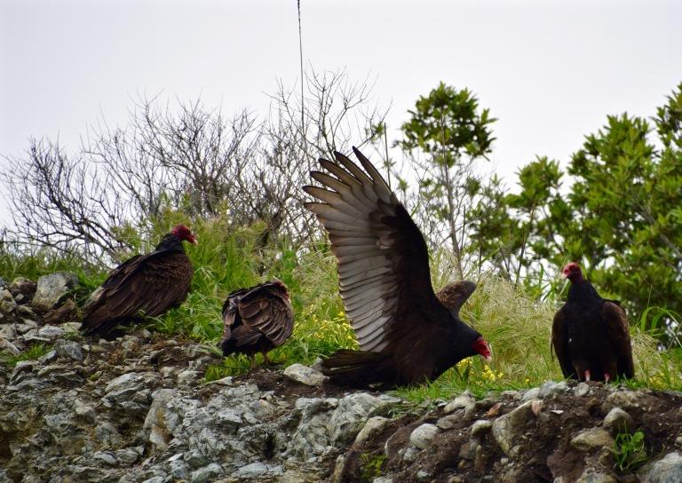 Turkey Vulture on Cliff