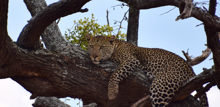 Leopard male tree